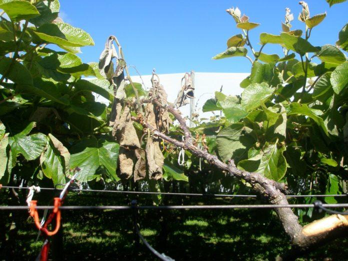 Kiwifruit vines